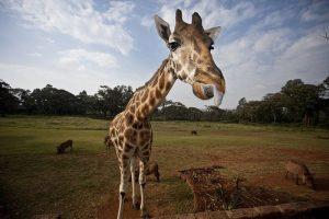 giraffe-header